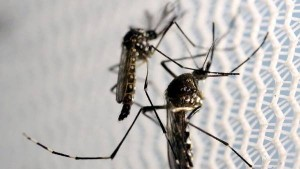 Aedes-mosquito-transmite-chicunguna-Reuters_CLAIMA20160802_0095_28